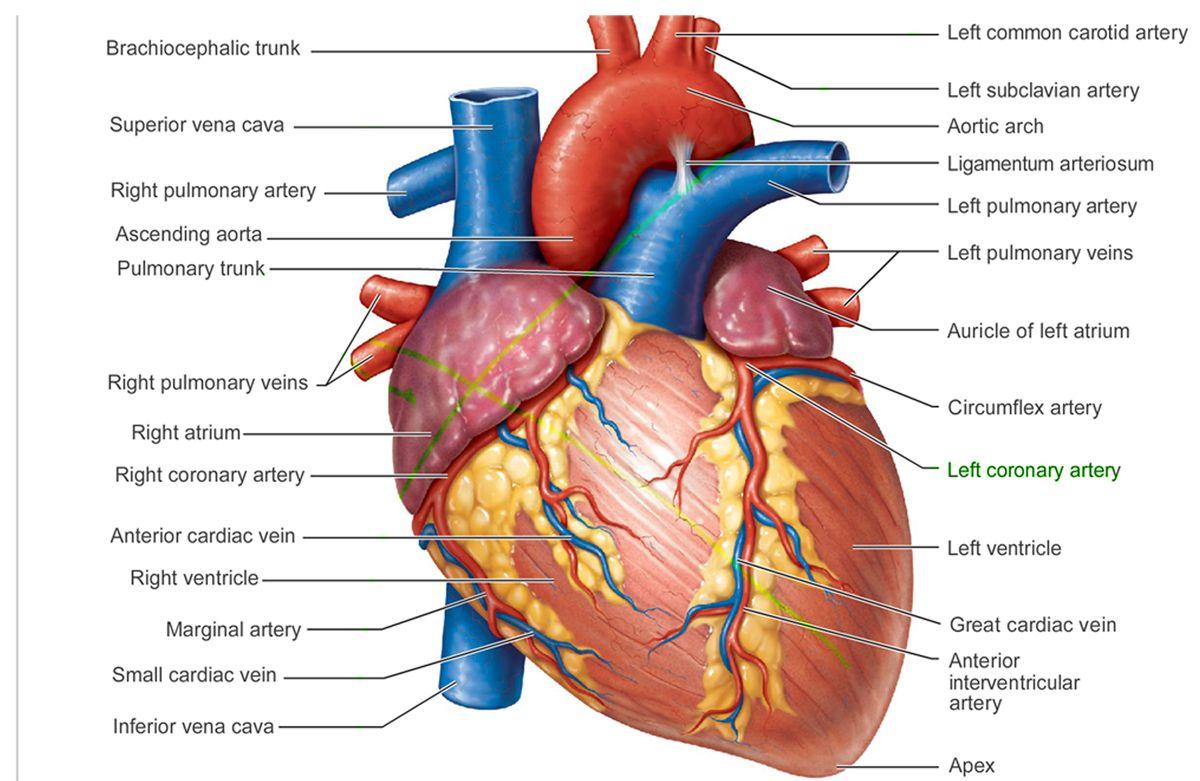 Gross anatomy of the human heart