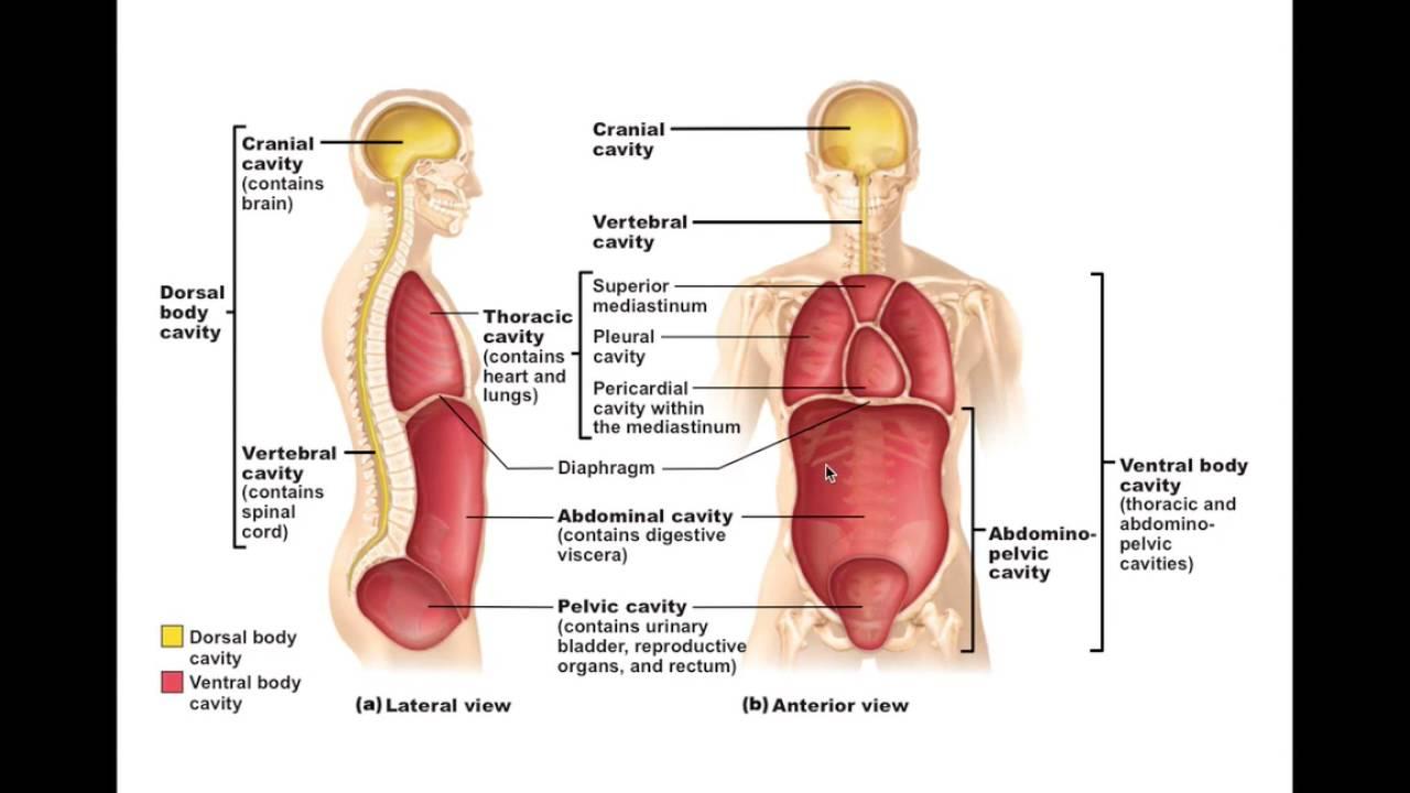 Body Membranes diagram
