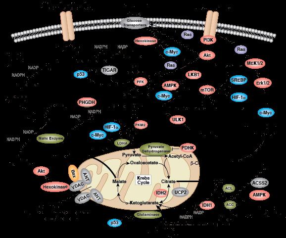 cellular metabolism diagram